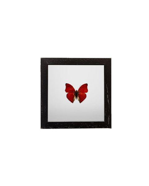 Vlinder in lijst red