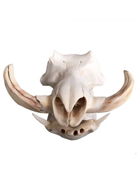 Wild zwijn schedel
